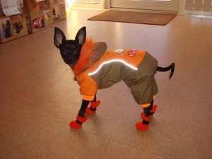 Собака мелкой породы в комбинезоне и сапожках