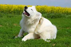Собака болеет чесоткой