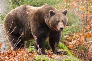 Характеристика бурых медведей