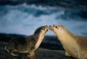 Отряд ластоногих млекопитающих