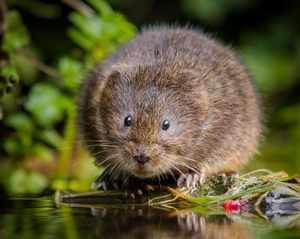 Водяная крыса как выглядит