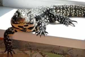 Экзоты дома: ящерица тегу