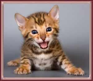 бенгальский котенок улыбается