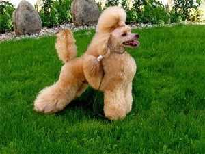 Дрессура собак пуделей