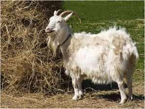 Солома для козы