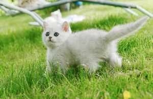 Котёнок Британской шиншиллы