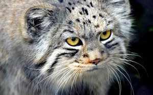 Манул - кот