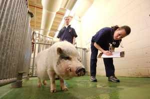 Осмотр свиней