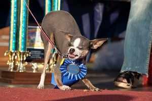 Чихуахуа Эбии считается одной из самых страшных собак в мире