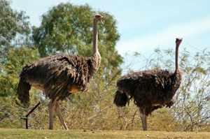 Масайский страус: описание внешнего вида
