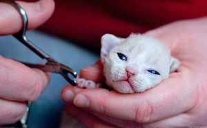 Стрижка когтей у маленького котенка