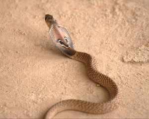 Змея очковая кобра