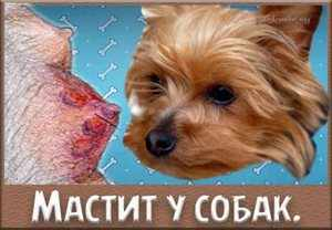 Мастит собачий
