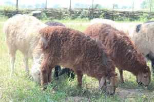 Внешний вид овец эдильбаевской породы