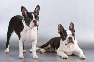 Описание не линяющих пород собак