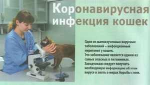 Короновирусная инфекция у кошек симптомы