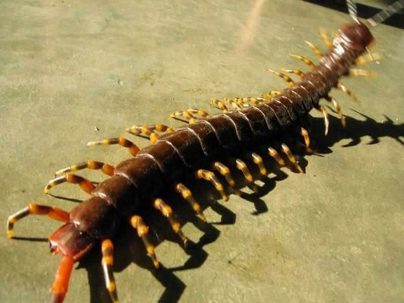 Скалапендрия: фото насекомого чем опасна и как