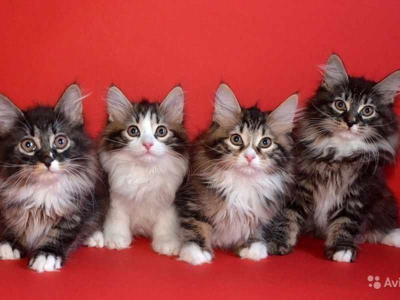 Милые курильские котята-бобтейлы