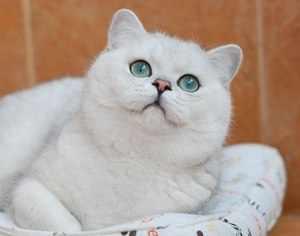 Порода кошки британская шиншилла