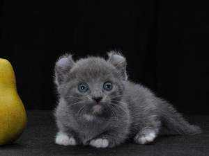 Кошки маленьких пород