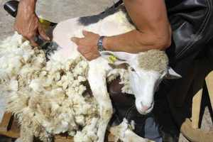 Чем стригут овец