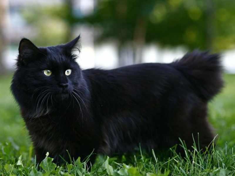 Черный курильский бобтейл на траве