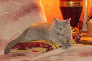 Британский короткошерстный кот отдыхает на подушке