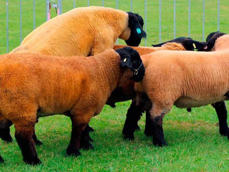Особенности пород овец
