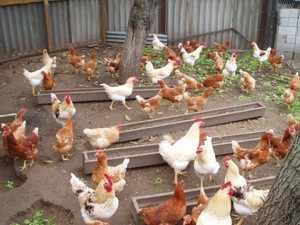 Петухи и курицы ломан браун