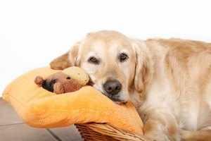 Беременность собаки