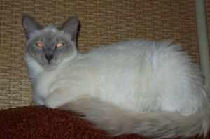 Длинношерстная ориентальная кошка