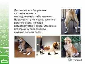 Степени дисплазии сустава у собак
