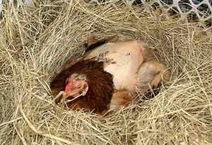 Выпадения перьев у кур