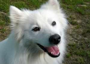 Собака американский эскимос