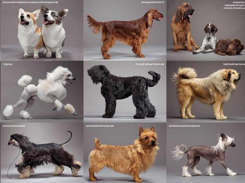 Отличительные признаки пород собак - справочные материалы