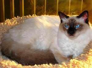 Балинезийская домашняя кошка