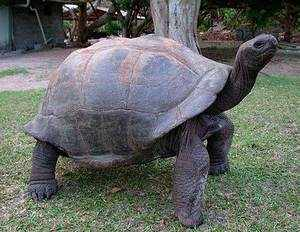 Взрослая слоновая черепаха (сухопутная) фото