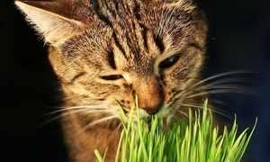 Кот ест зеленую траву