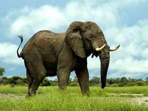 Причины сокращения численности слонов