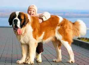 Характеристика собак сенбернаров