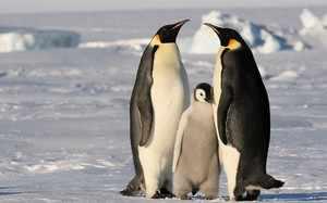 Как размножаются пингвины