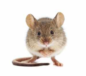 Разнообразие видов мышей