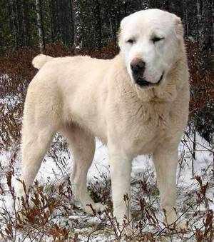 Среднеазиатская овчарка особенности породы