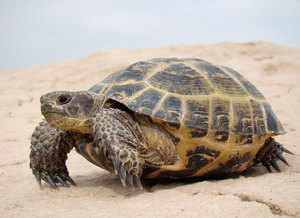 Сколько живет черепаха в природе - разные виды
