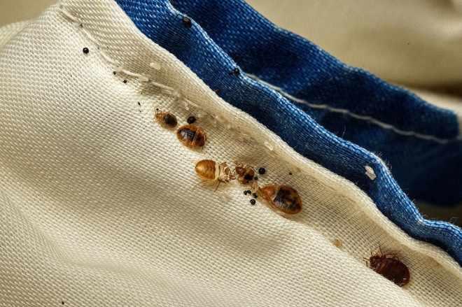 Постельные клопы на одежде