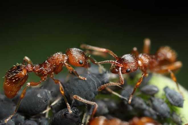 Огненный муравьи - схватка