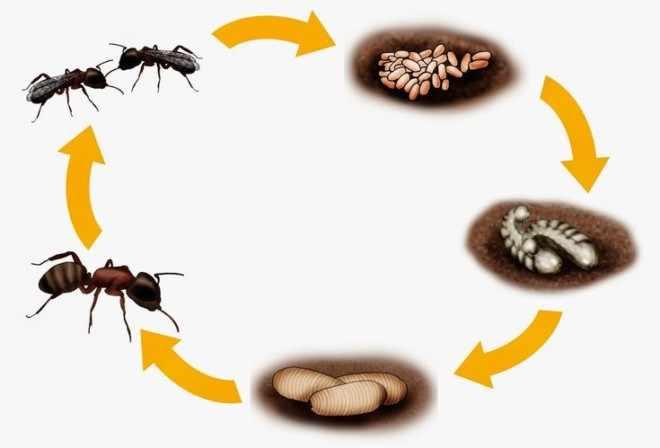 Цикл жизни муровья