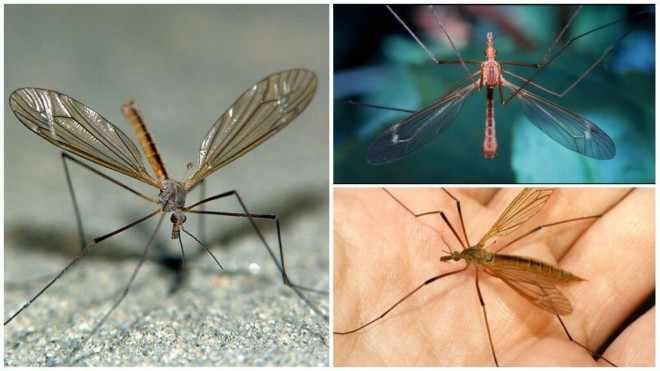 Комар долгоножка - подборка