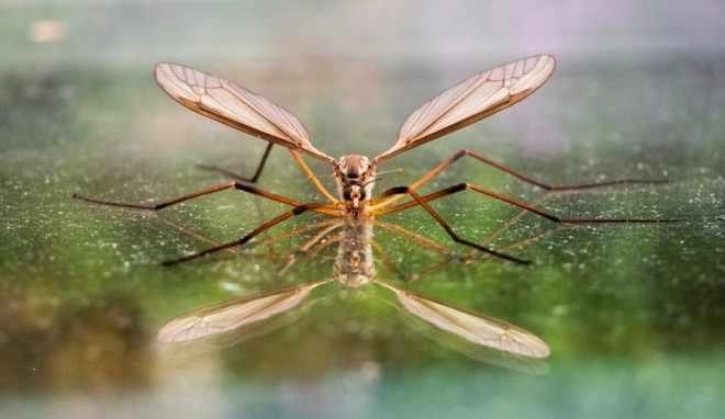 Комар долгоножка на воде