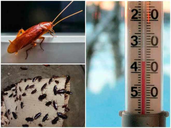 Температура и тараканы
